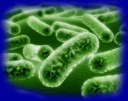 Lactobacillus acidophilus 1