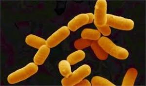 Lactobacillus rhamnosus lysate 1