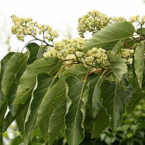 Khúng khiếng (Hovenia Dulicis) 1
