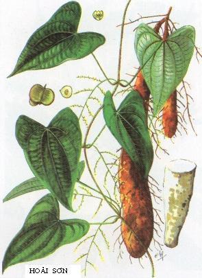 6. Hoài sơn (Dioscorea Persimilis) 1