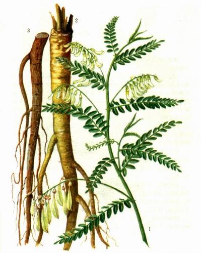 5. Hoàng kỳ (Astragalus membranaceus) 1