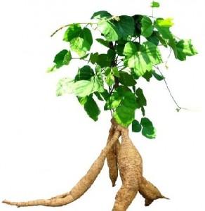 Chuyên gia nói về cây Kwao Krua Trắng 1
