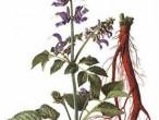 Đan sâm - Vị thuốc quý cho bệnh tim mạch